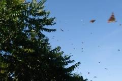 Lauter Schmetterlinge in Aqtau, im Botanischen Garten
