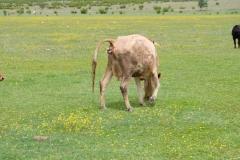 Morgens am Jandari See: eine kalbende Kuh